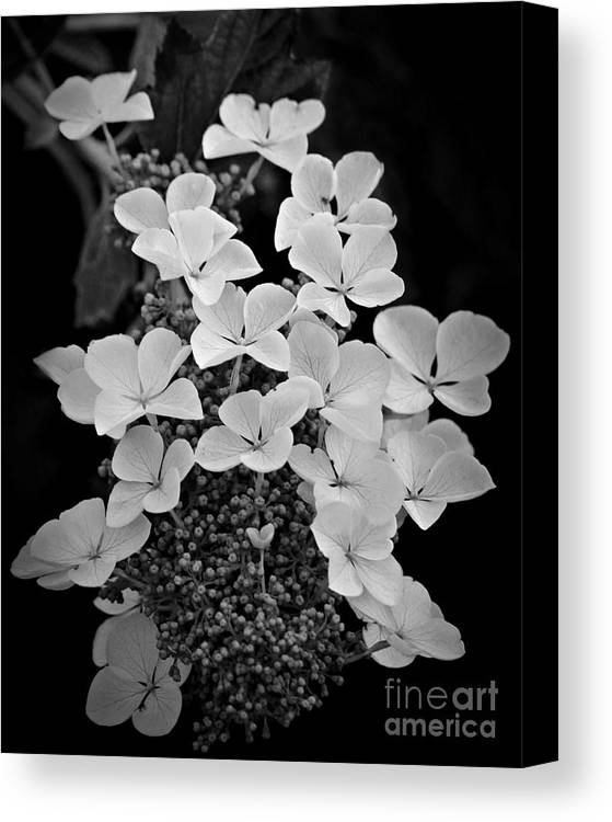 Hydrangea Canvas Print featuring the photograph White Lacecap Hydrangea by Patricia Strand