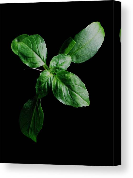 Herbs Canvas Print featuring the photograph A Sprig Of Basil by Romulo Yanes
