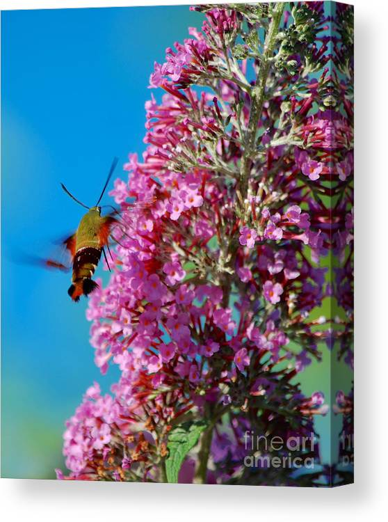 Butterfly Bush Canvas Print featuring the photograph Snowberry Clearwing Hummingbird Moth by Mark Dodd