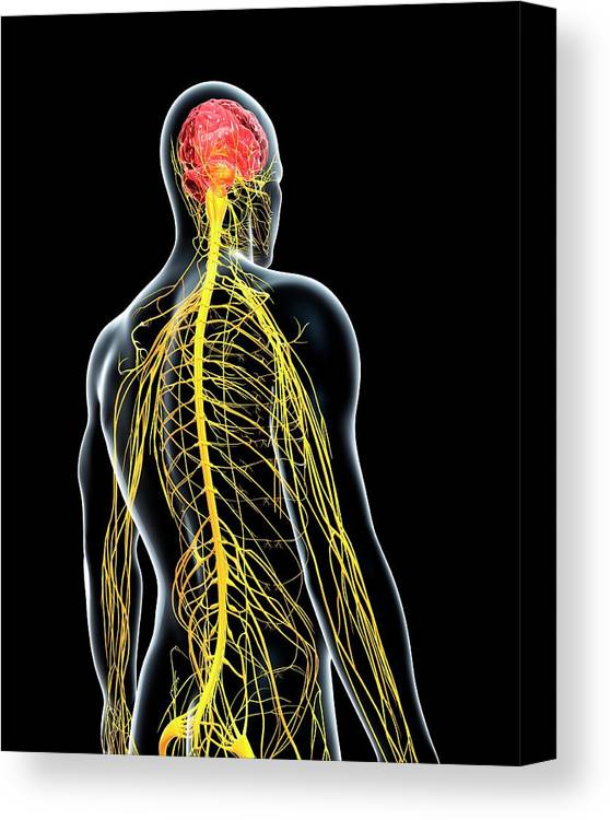 Artwork Canvas Print featuring the photograph Male Nervous System by Pixologicstudio/science Photo Library