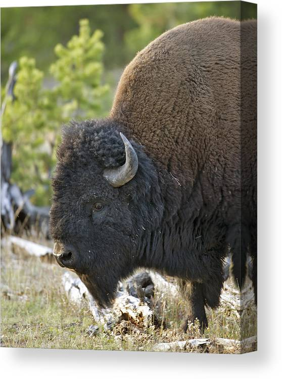 American Canvas Print featuring the photograph American Bison by Gary Langley