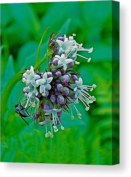 Bug On Wild Mint On Great Glacier Trail In Glacier National Park Canvas Print featuring the photograph Bug On Wild Mint On Great Glacier Trail In Glacier National Park-british Columbia by Ruth Hager