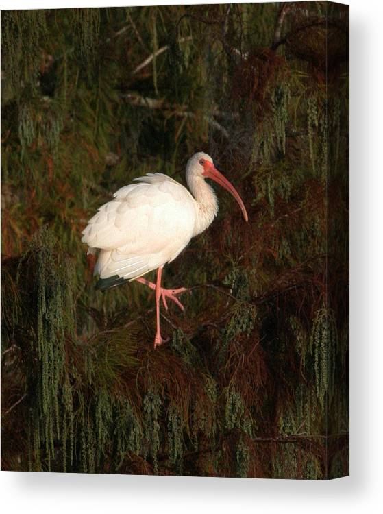 Ibis Canvas Print featuring the photograph Ibis In The Cypress by Jeff Wright