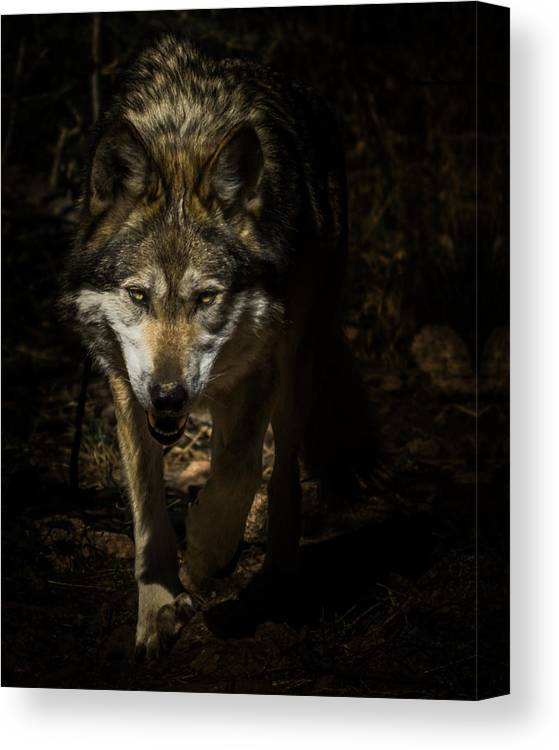 Wolf Canvas Print featuring the photograph Out Of The Dark by Ernie Echols