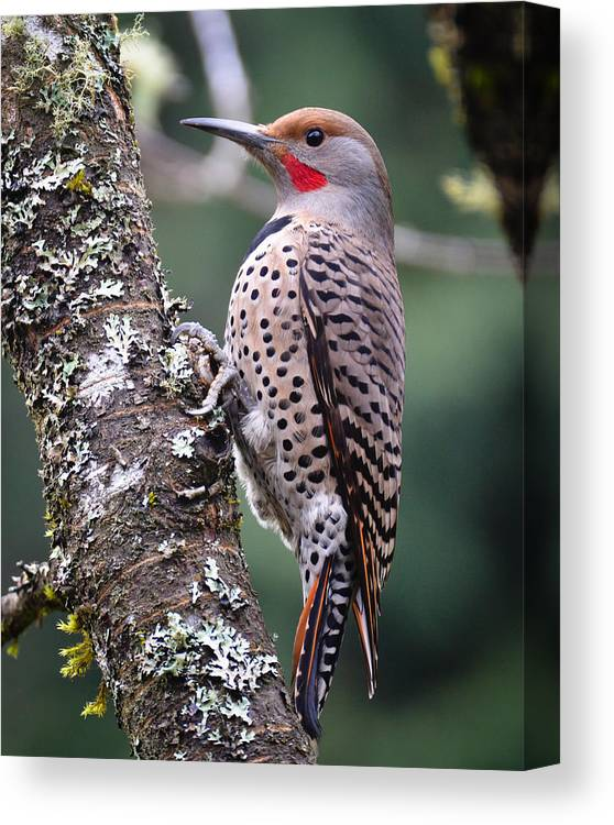 Bird Canvas Print featuring the photograph Red Shafted Flicker Vi by Ronda Broatch