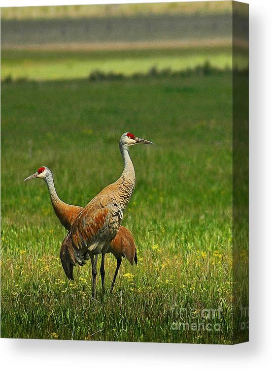 Sandhill Canvas Print featuring the photograph Sandhill Cranes by Sam Rosen