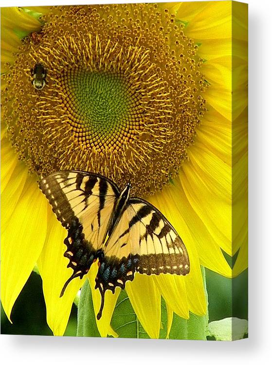 Yellow Sunflowers Canvas Print featuring the photograph Secret Lives Of Sunflowers by Kim Bemis