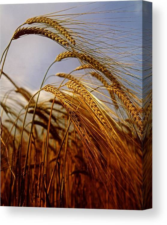Barley Canvas Print featuring the photograph Barley, Co Meath, Ireland by The Irish Image Collection