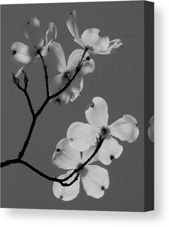 Flowers Canvas Print featuring the photograph Dogwood In Bandw by Mark Codington