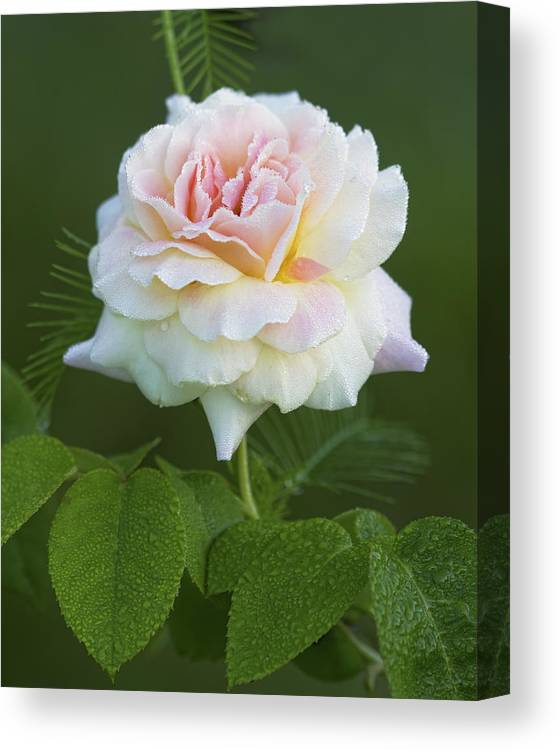 Peace Canvas Print featuring the photograph Sweet Morning Peace Rose by Kathy Clark