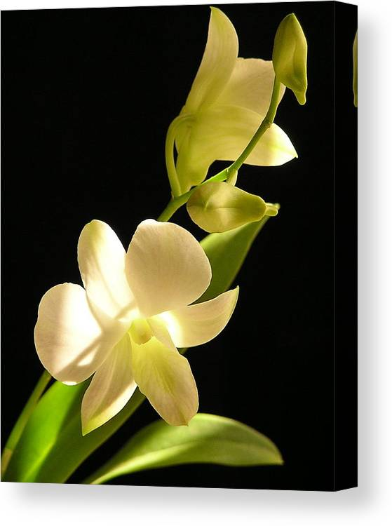 Flower Canvas Print featuring the photograph White Dendrobium by Andrea Drake