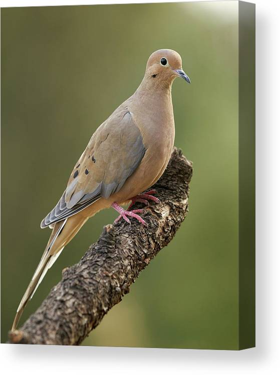 Birds Canvas Print featuring the photograph Mourning Dove by Doug Herr