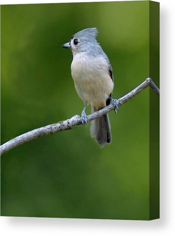 Photography Titmouse Canvas Print featuring the photograph Titmouse by David Waldrop