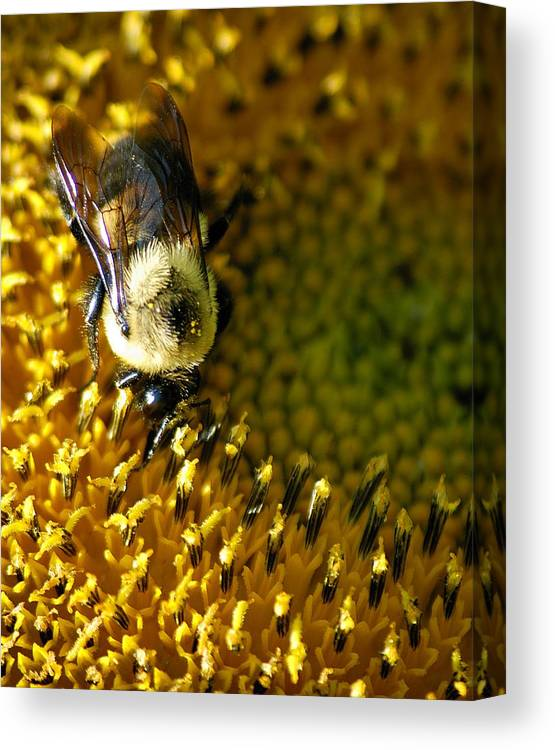 Bees Canvas Print featuring the photograph Bee On Sunflower by Bob Guthridge