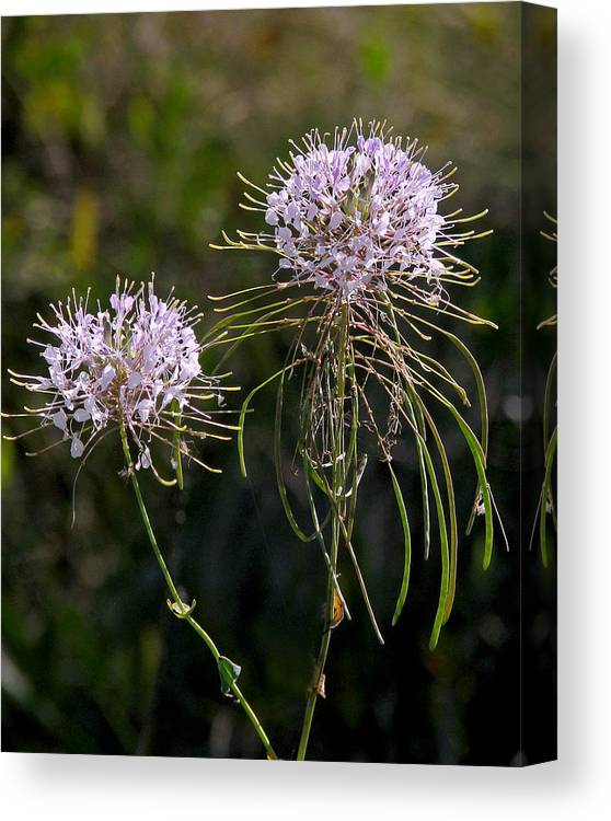 Nature Canvas Print featuring the photograph Clasping Warea by Peg Urban