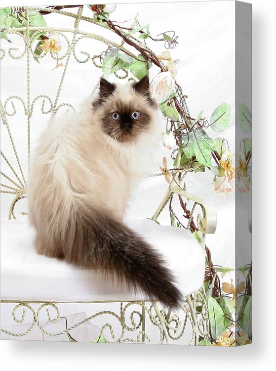 Animal Canvas Print featuring the photograph Himalayan Kitten by Crystal Garner