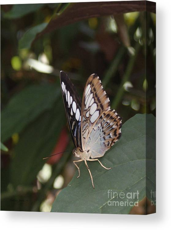Butterfly Canvas Print featuring the photograph Hints Of Blue by Shelley Jones
