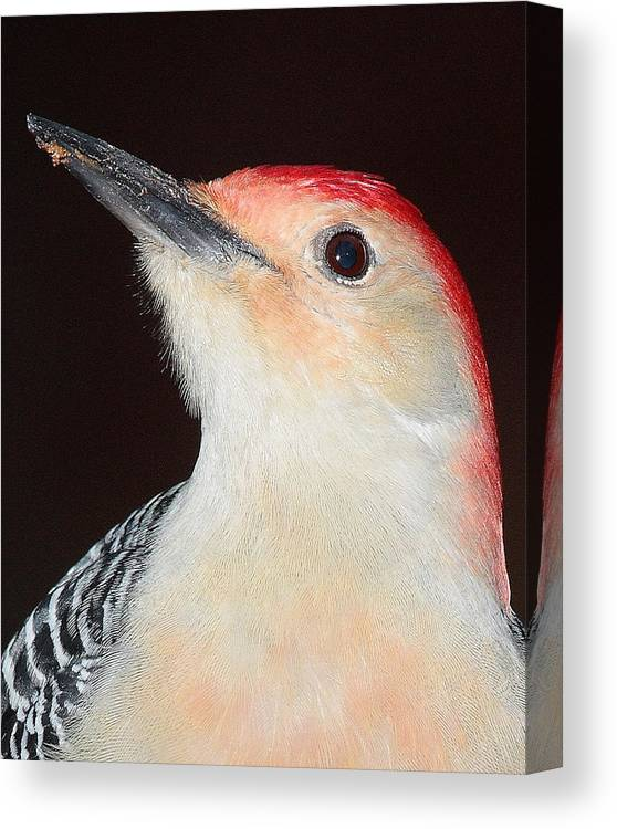 Bird Canvas Print featuring the photograph Red-bellied Up Close by Larry Federman