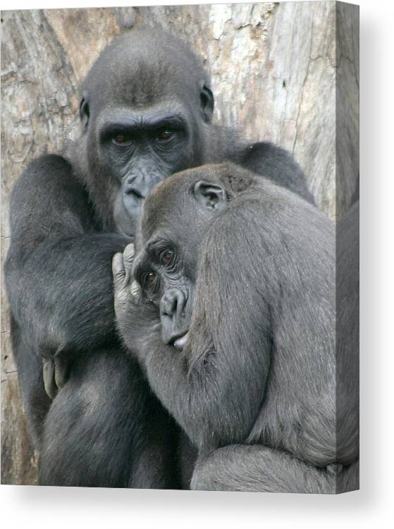 Gorilla Canvas Print featuring the photograph Souls by Mitch Cat