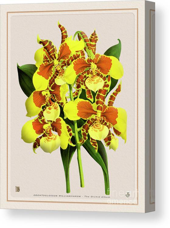 Vintage Canvas Print featuring the drawing Orchid Vintage Print On Tinted Paperboard by Baptiste Posters