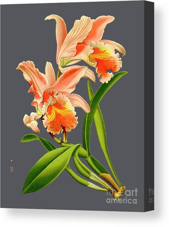 Vintage Canvas Print featuring the digital art Orchid Old Print by Baptiste Posters