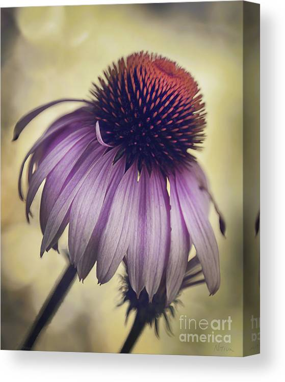 Purple Coneflower Canvas Print featuring the photograph Purple Coneflower by Deena Athans