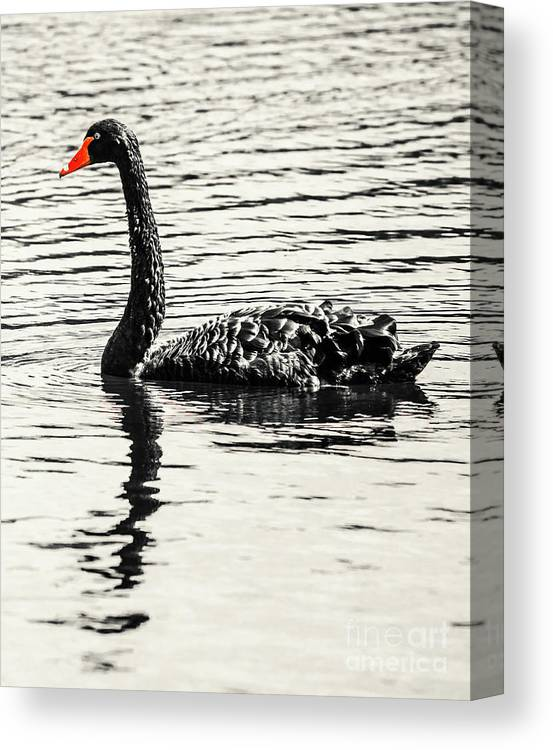 Black Canvas Print featuring the photograph Reflective Black Swan by Jorgo Photography - Wall Art Gallery