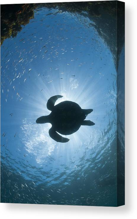 536791 Canvas Print featuring the photograph Green Sea Turtle Galapagos Islands by Tui De Roy