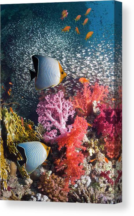 Tranquility Canvas Print featuring the photograph Butterflyfish Over Coral Reef by Georgette Douwma