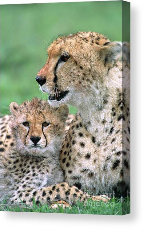 00345036 Canvas Print featuring the photograph Cheetah Mother And Cub by Yva Momatiuk John Eastcott