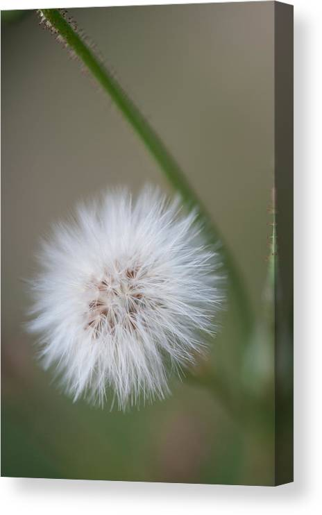 Dandelion Canvas Print featuring the photograph End of Life by Paul Johnson