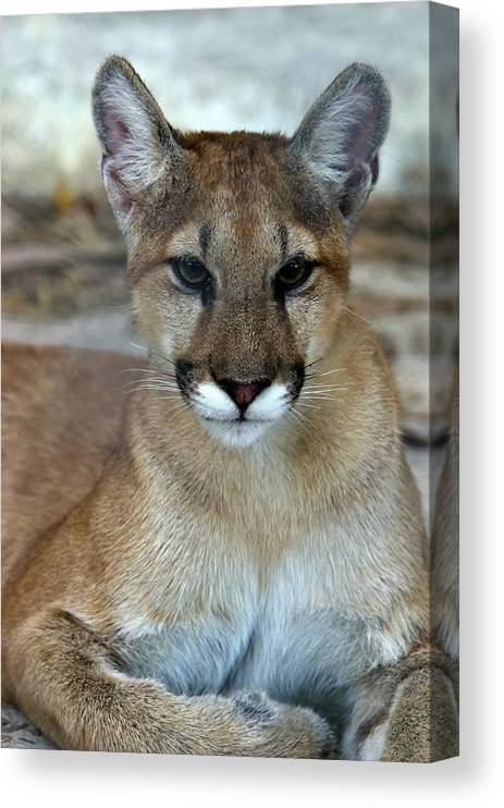 Animal Themes Canvas Print featuring the photograph Florida Panther, Endangered by Mark Newman