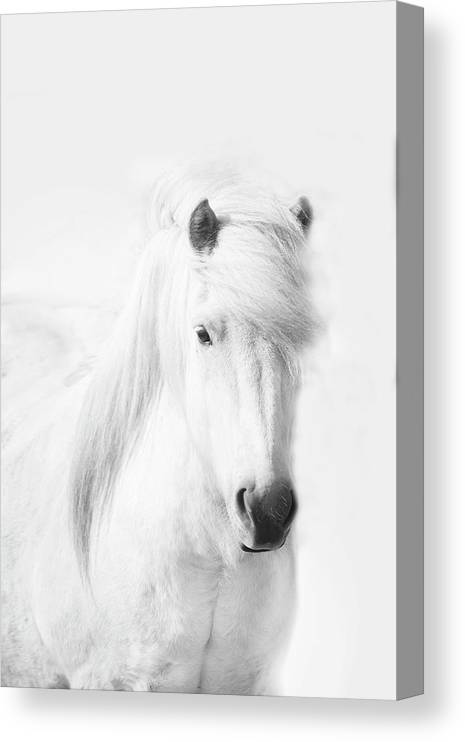 White Background Canvas Print featuring the photograph Icelandic Pony In White by Grant Faint
