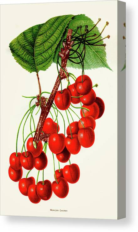 Engraving Canvas Print featuring the digital art Mercer Cherry Illustration 1892 by Thepalmer
