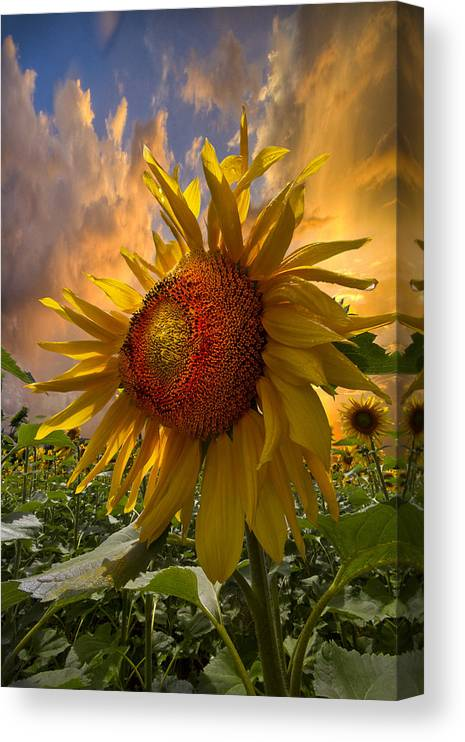 Appalachia Canvas Print featuring the photograph Sunflower Dawn by Debra and Dave Vanderlaan