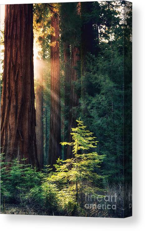 Redwood Canvas Print featuring the photograph Sunlit from Heaven by Jane Rix