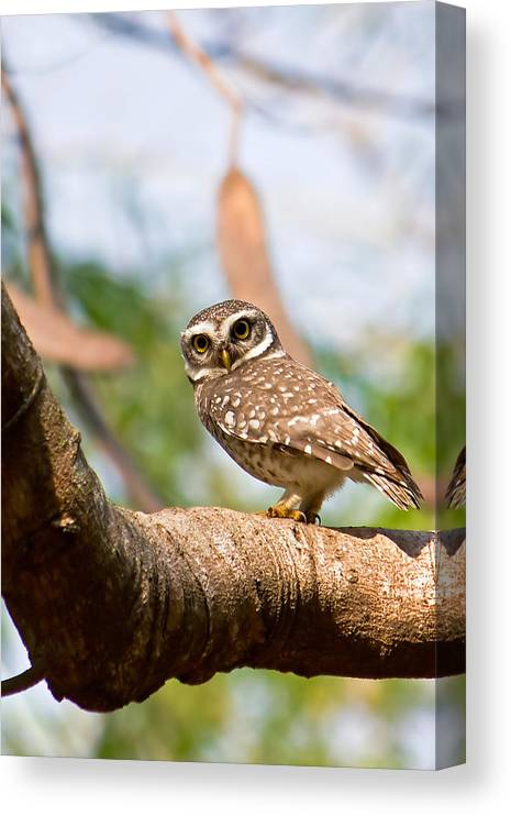 Vertical Canvas Print featuring the photograph Spotted Owlet by Amith Nag Photography