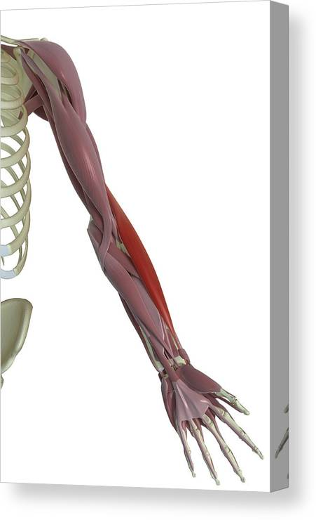 Vertical Canvas Print featuring the photograph Brachioradialis by MedicalRF.com
