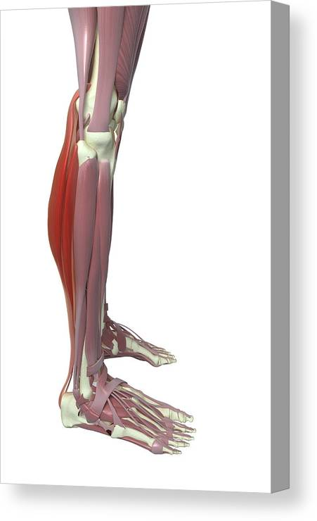 Vertical Canvas Print featuring the photograph Gastrocnemius And Soleus Muscle by MedicalRF.com