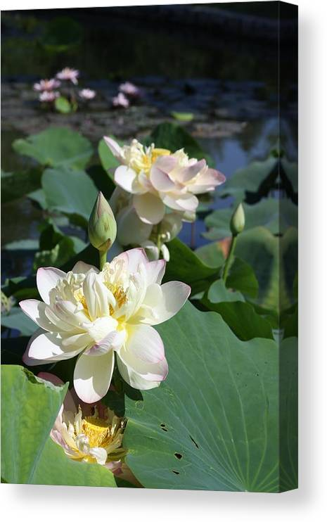 Lotus Canvas Print featuring the photograph Lotus in Bright Sunlight by John Lautermilch