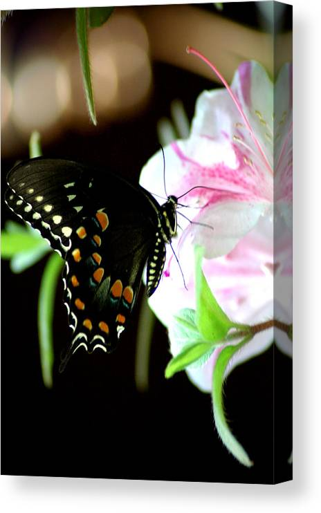 Swallowtail Canvas Print featuring the photograph Swallowtail by David Weeks