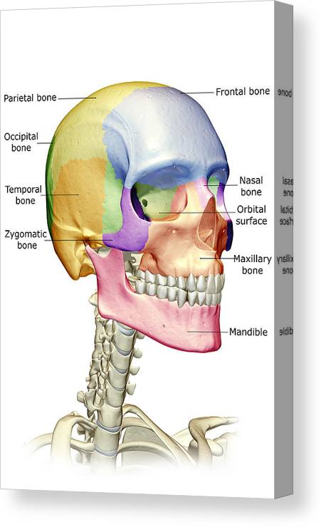 Vertical Canvas Print featuring the digital art The Bones Of The Head, Neck And Face by MedicalRF.com
