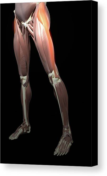 Vertical Canvas Print featuring the photograph Thigh/lower Limb Abduction by MedicalRF.com