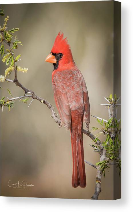 Northern Cardinal Canvas Print featuring the photograph Northern Cardinal CFH17765 by Carol Fox Henrichs