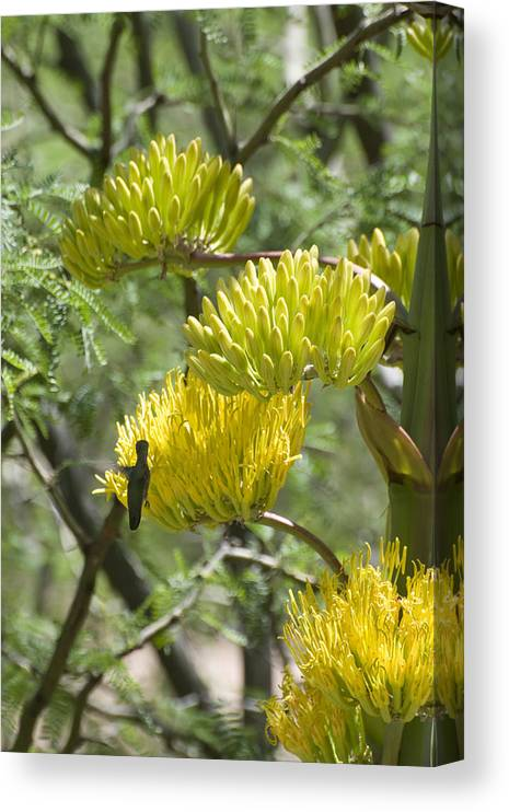 Aloe Canvas Print featuring the photograph Aloe Blossoms with a Hummingbird by Richard Henne
