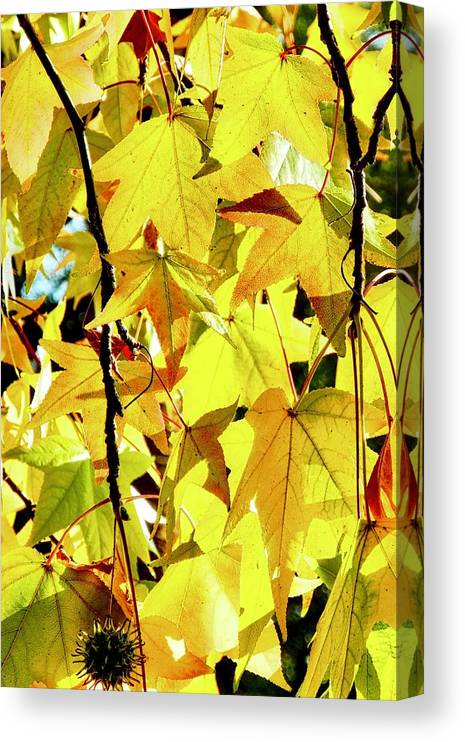 Liquidambar Canvas Print featuring the photograph Backlit Liquidambar Leaves by Kirsten Giving