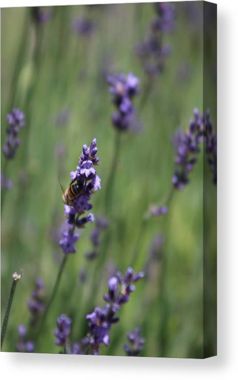 Deep Purple Lavender Canvas Print featuring the photograph Bee on Deep Purple Lavender Spike by Colleen Cornelius