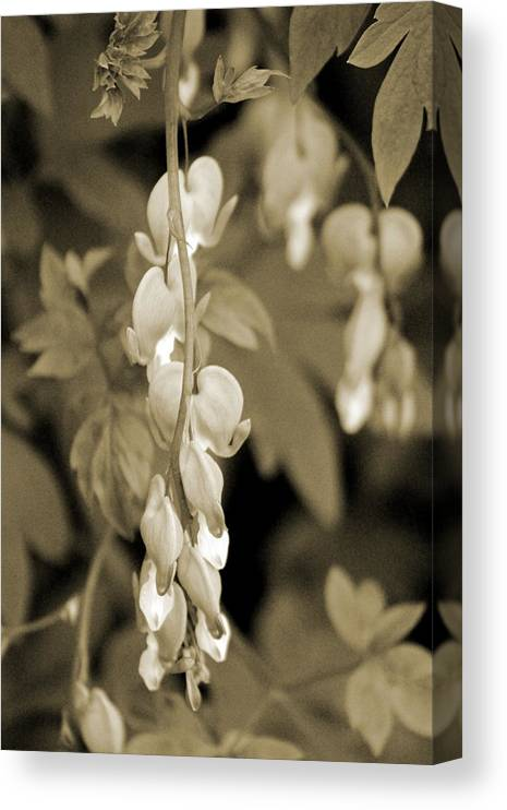 Bleeding Hearts Canvas Print featuring the photograph Bleeding Hearts In Sepia by Colleen Cornelius