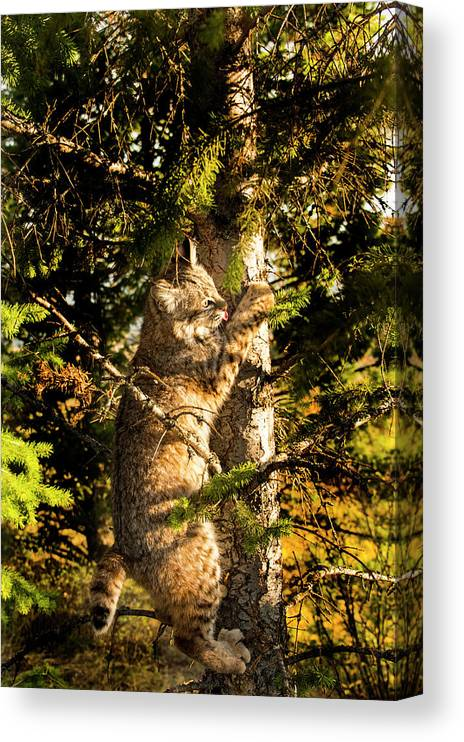 Bobcat Canvas Print featuring the photograph Bobcat up a tree by Roy Nierdieck