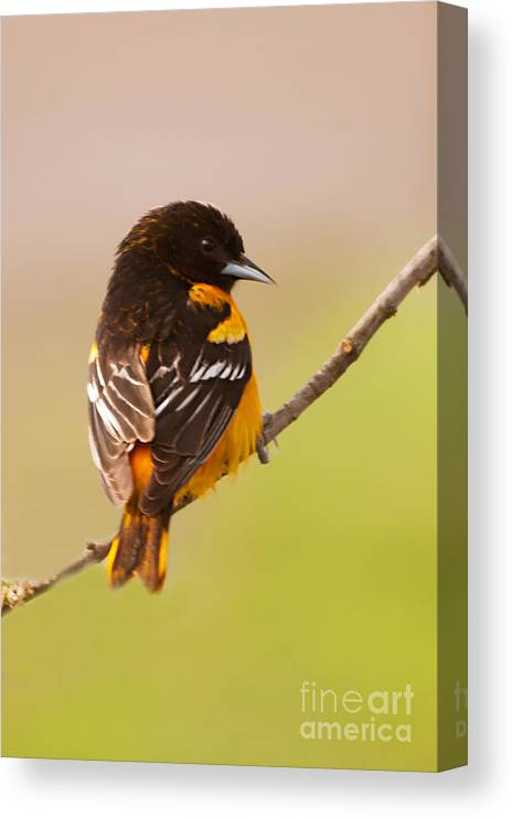Finch Canvas Print featuring the photograph Finch by Gaby Swanson